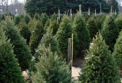 xmas-trees3