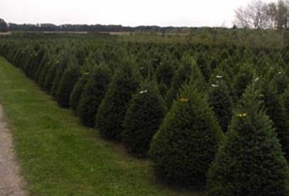 xmas-trees2