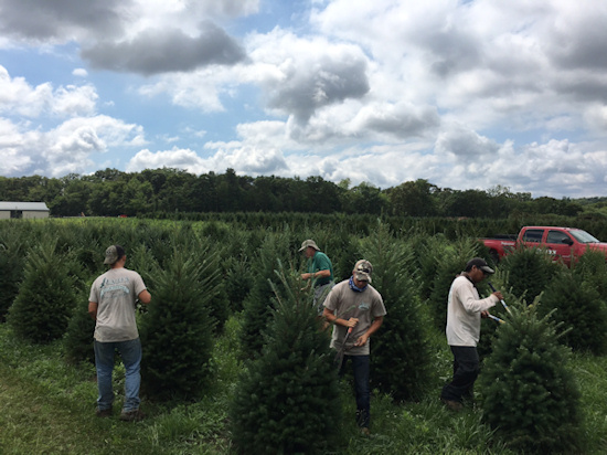 Christmas Tree Trimming